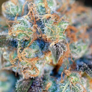 Red Diesel Cannabis Strain Gallery 2
