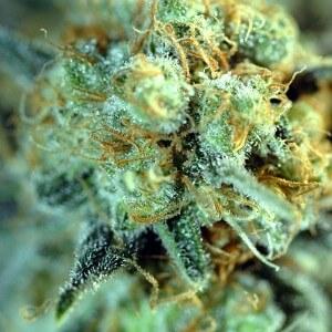 Red Diesel Medical Marijuana Strain Gallery 4